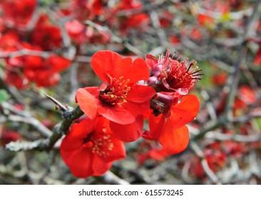"Chaenomeles speciosa ""Incendie"" Japanese flowering quince cultivar hardy shrub red flowers spring flower blossom"