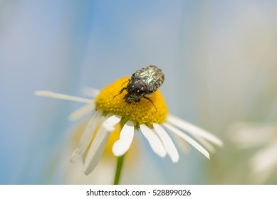 chafer collecting pollen on a camomile. Shallow depth of field.