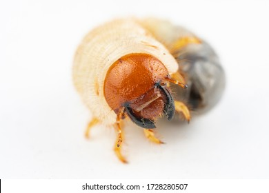 Chafer grub (Melolontha melolontha) isolated on white background. Macro photo.