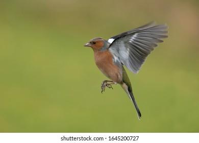 Chaffinch - Fringilla coelebs. Männlicher Vogel im Flug.