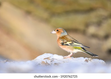 Chaffinch - Fringilla coelebs (male), foraging in its natural habitat