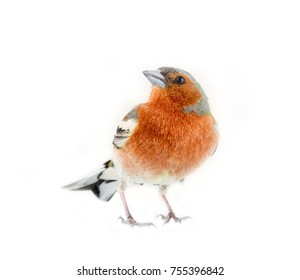 chaffinch (Fringilla coelebs) most common bird of Europe, forest bird, finches, thick beak, granivorous birds - male in bright breeding plumage on white background