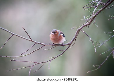 Chaffinch (Fringilla coelebs) sitting on the branch of a tree.