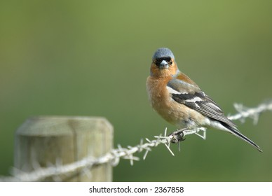 Chaffinch on barbed wire fence