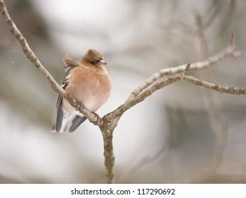 Chaffinch on a branch