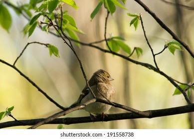the chaffinch on a tree branch
