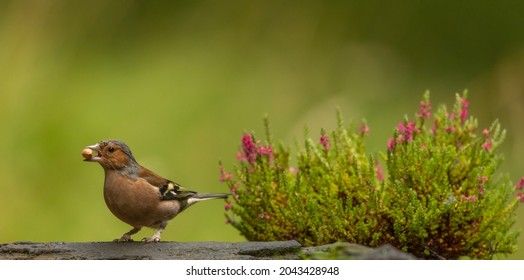 The chaffinch is one of the most widespread and abundant bird in Britain and Ireland. Its patterned plumage helps it to blend in when feeding on the ground and it becomes most obvious when it flies.