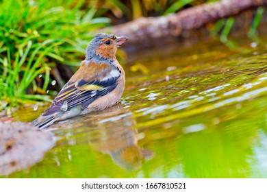 Chaffinch taking a bath in a forest pond in Castilla y León Spain  Europe