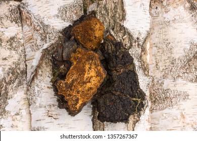 Chaga mushroom growing on a birch tree. Black-brown Inonotus obliquus on white bark.
