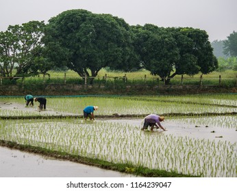 CHAIAG MAI, THAILAND,21 AUGUST 2018; Farmers planting rice in the rainy season.