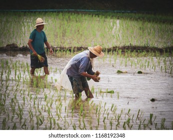 CHAIAG MAI, THAILAND,21 AUGUST 2018; Farmers planting rice in the rainy season.