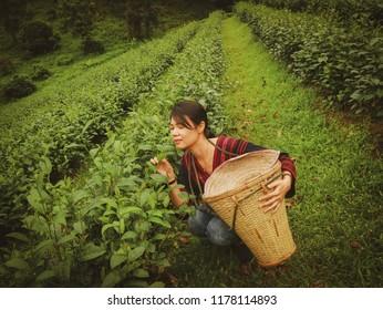 CHAIGMAI, THAILAND - AUGUST 17 2018; Asian woman sitting on a farm tea