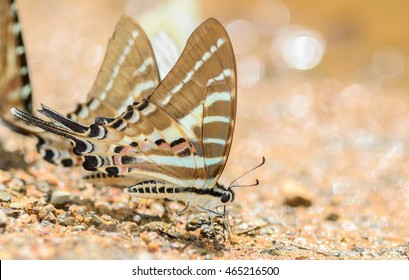 Chain Swordtail butterfly in nature