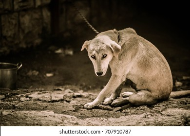 Chained dog.