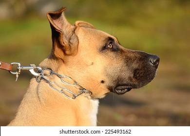 Chained dog in the garden, portrait