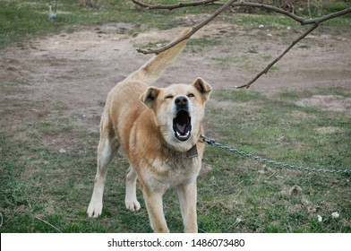 Chained dog showing his anger by barking at people.