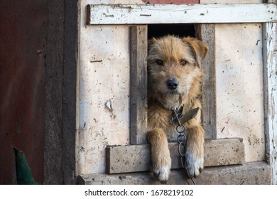 Chained up dog in wooden kennel with head out waiting to be released
