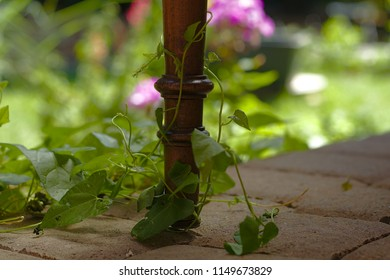 Chair leg with a tendril in the garden