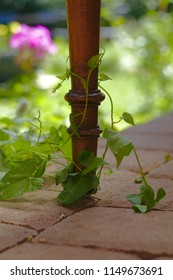 Chair leg with a tendril in the garden at summer time