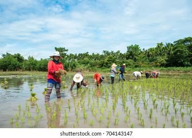 Chaiyapum, Thailand. July 21:2013. Thai farmer working in rice farm Chaiyapum, Thailand.