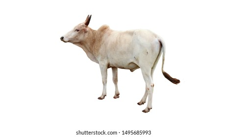 Chalale Cattle Breed Standing in a White Background