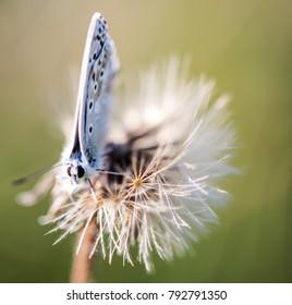 Chalkhill blue on a dandelion seed head. UK