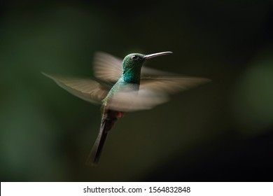 Chalybura urochrysia, Bronze-tailed plumeleteer The Hummingbird is hovering in the dark of the rain forest. Dark background.