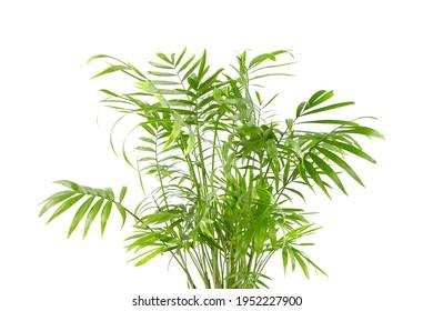 Chamaedorea Elegans isolated on white background. Parlour Palm, houseplant green leaves