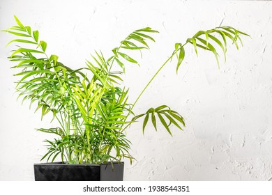 Chamaedorea elegans or Parlour Palm house plant over white wall indoors