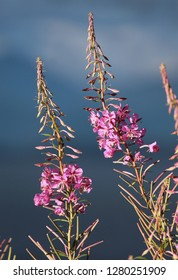 Chamaenerion angustifolium, commonly known in North America as Fireweed or Great Willowherb, and in Britain as Rosebay Willowherb. Lit by the evening sun, against a background of storm clouds.
