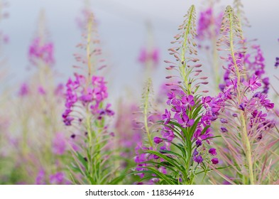 Chamaenerion angustifolium, known as fireweed or as great willowherb or as rosebay willowherb, is a perennial herbaceous plant in the willowherb family Onagraceae.