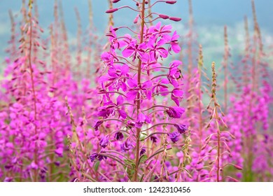 Chamaenerion angustifolium is a perennial herbaceous plant in the willowherb family Onagraceae. It is native throughout the temperate Northern Hemisphere, including large parts of the boreal forests.