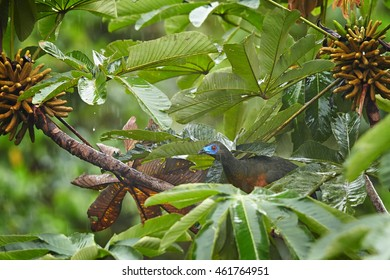 Chamaepetes goudotii,  Sickle-winged Guan.  Bird with long tail, chestnut belly and blue facial skin, perched on branch in rain among wet leaves. Ecuador, West Sumaco.