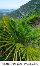 Chamaerops or European fan palm (Chamaerops humilis) around The Abrics de l'Ermita Rock Art nearby Ulldecona village in Terres de l'Ebre region of Tarragona province of Catalunya, Spain, Europe