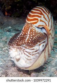 Chambered nautilus in Bohol sea Philippines