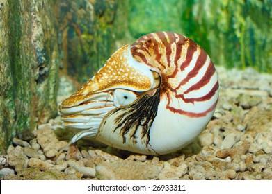 Chambered Nautilus (pompilius) underwater in a aquarium