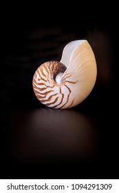 Chambered Nautilus seashell Nautilus pompilius pompilius isolated on a black background