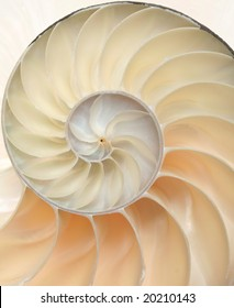 Chambered Nautilus shell cutaway close-up