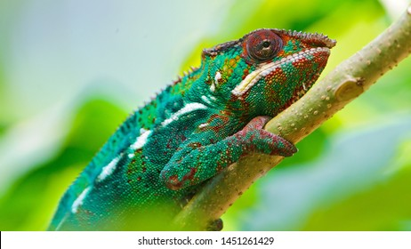 Chameleon 4K Wallpaper - Portrait 4K Wallpaper