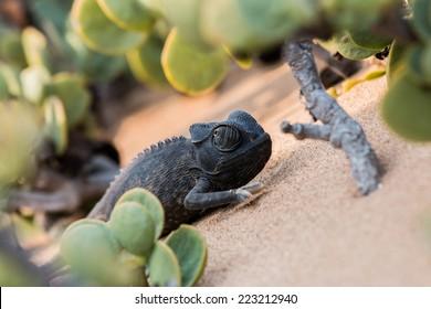 Chameleon in bush