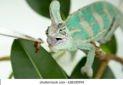 Chameleon caught in action when hunting a worm in the tweezers  (chamaleo calyptratus)