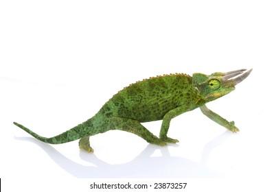Jackson?s Chameleon (Chamaeleo jacksonii merumontanus) isolated on white background.
