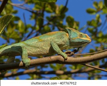 Chameleon climbing on the branch of the tree, Madagascar