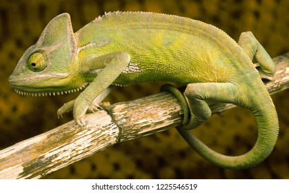 Chameleon clinging to a tree branch