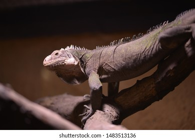 An chameleon close up isolated.