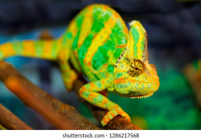 Chameleon close up. Multicolor Beautiful Chameleon closeup reptile with colorful bright skin. The concept of disguise and bright skins. Exotic Tropical Pet