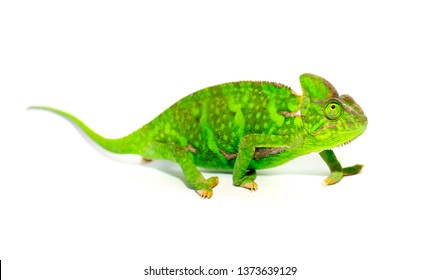 Chameleon closeup isolated on white background. Multicolor beautiful reptile chameleon with colorful bright skin. The concept of disguise and bright skins. Exotic tropical animal.