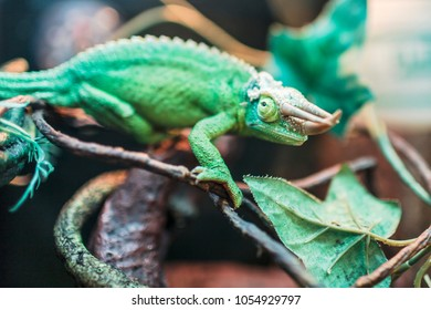 chameleon colorful reptile lizard green with horn