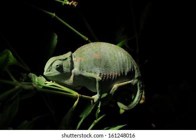 chameleon in the dark