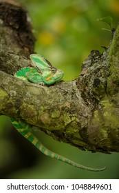 Chameleon in discomfort position on tree